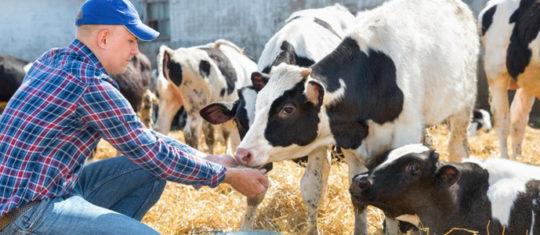 nutrition pour les ruminants
